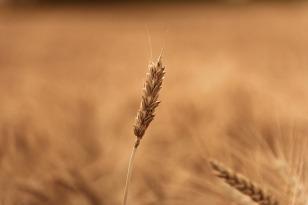 wheat-field-1205593_640